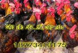 供应优质黑土3号鸡苗