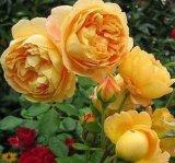 月季花黃金慶典歐月大花月季大衛奧斯汀月季香水月季小博士的魚月季花黃色經典品種月季花苗玫瑰花苗月季花牙籤苗