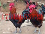 黔西南州望謨縣黑雞苗銷售價格