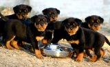 肉狗幼崽价格 肉狗多少钱一组