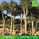 浙江树冠如伞12公分香樟地苗多少钱,浙江骨架香樟