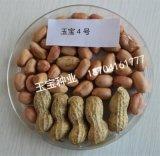 常年供應花生種子米、花生種子果