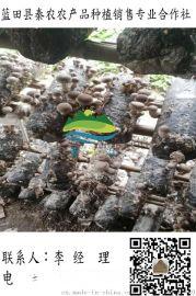 蓝田香菇接种菌批发|批发新鲜香菇口菇|哪里的新鲜香菇好|秦农合作社