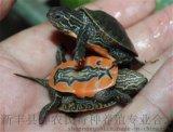 西锦龟 西部锦龟 西锦龟苗 进口水龟特色腹部图纹玩宠