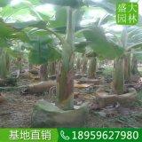 湖南芭蕉樹什麼價,湖南哪裏有賣芭蕉樹