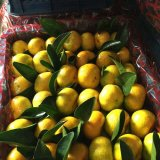 東莞下橋水果批發市場--代銷柑橘