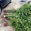 常年批發香椿苗 大棚香椿苗 提供種植技術