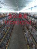 海蘭褐青年雞多少錢