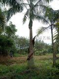 浙江哪裏有賣大王椰子,浙江杭州假植大王椰子