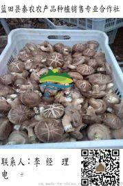 批發幹香菇|銷售香菇菌種|香菇種植技術|藍田秦農合作社