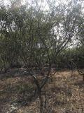 海南高度3米脆桃树质量好,海南嫁接脆桃树价位低