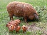 北京哪裏有賣卷毛豬的
