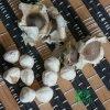 雲南滿澤辣木籽,雲南辣木籽產品,雲南辣木籽價格