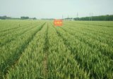 山農29高產小麥種|高產小麥種|高產小麥新品種|博信供