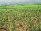 湖南中藥材種植基地仿野生態種植園