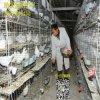 養殖廠鴿籠子,12對鴿籠子,鴿籠鴿具廠