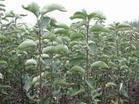 1年翅果油樹苗=2年翅果油樹苗=山西翅果油樹苗=1米翅果油樹苗=翅果油樹苗價格