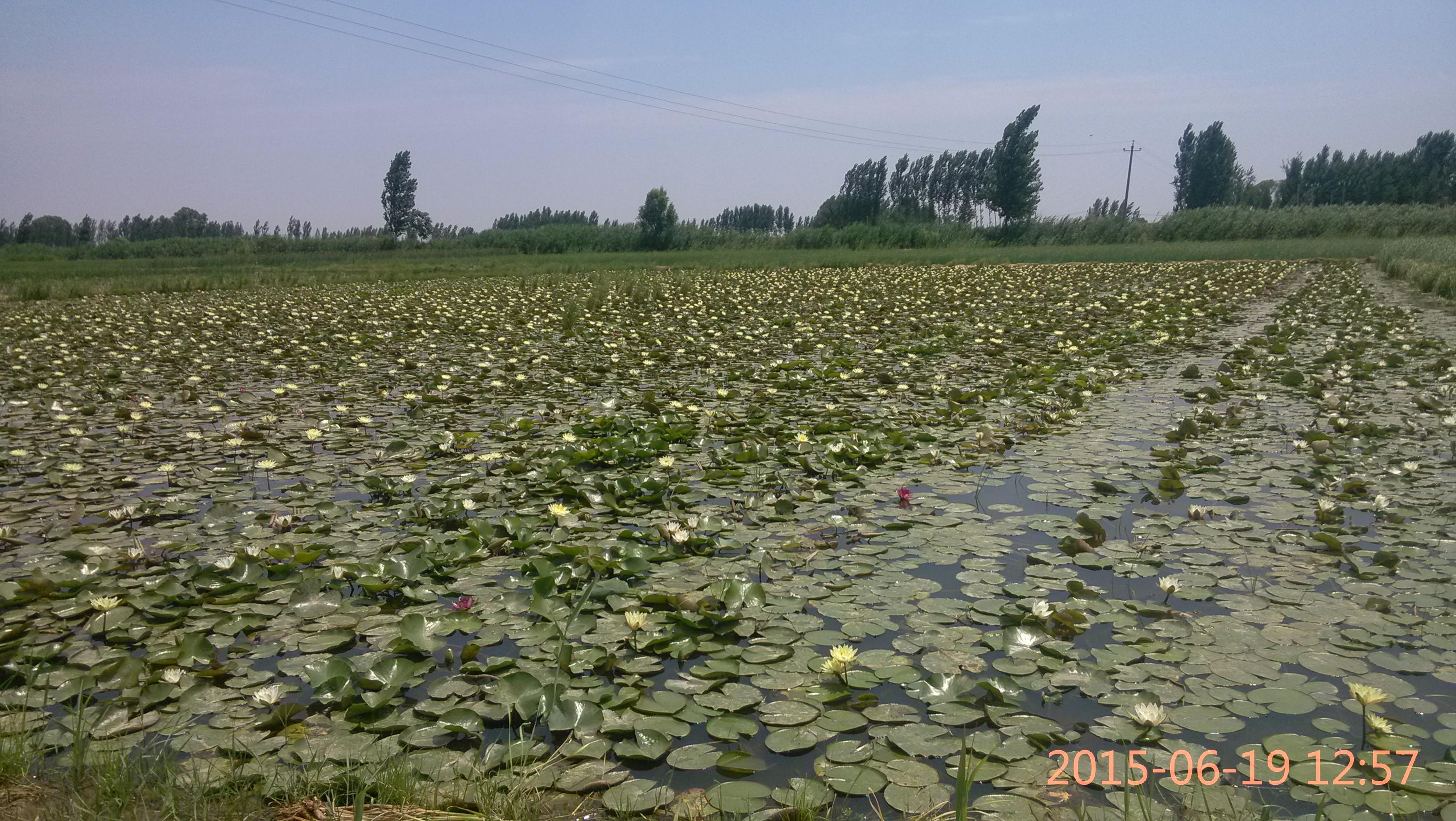 河北白洋淀博艺水生植物种植批发基地