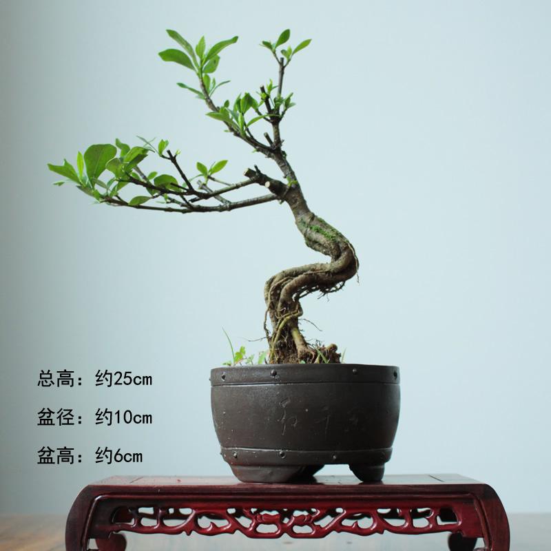 工艺品  花卉,盆景和装饰植物  xinyi提根栀子花盆景小品,中小型盆景