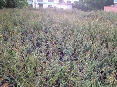 供应小叶紫檀苗,印度小叶紫檀,广东小叶紫檀树苗