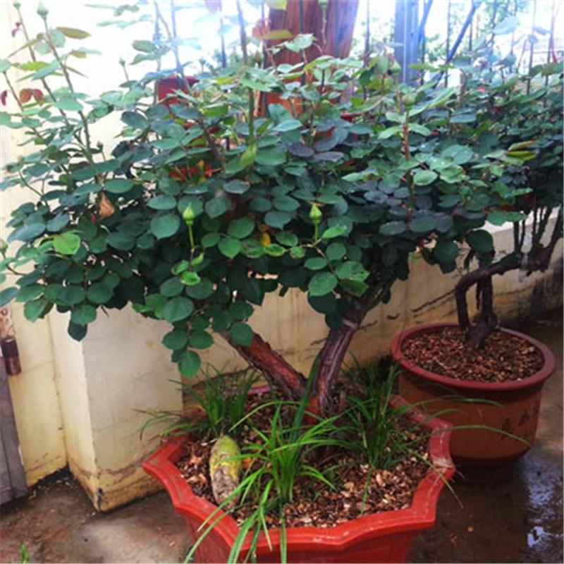 花卉,盆景和装饰植物 > 闻香园林盆栽月季树 玫瑰月季桩 造型古桩月季