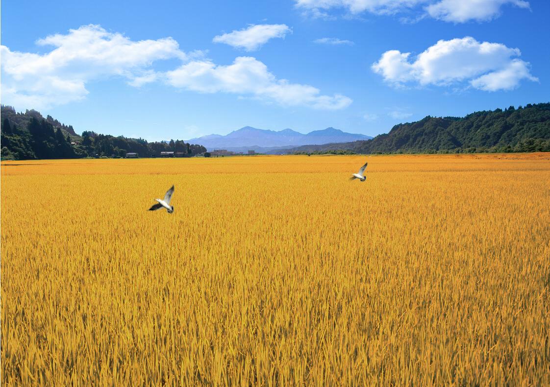 3d立体欧式田园风格餐厅壁纸大型壁画,黄金十月秋天的田野金黄色麦穗