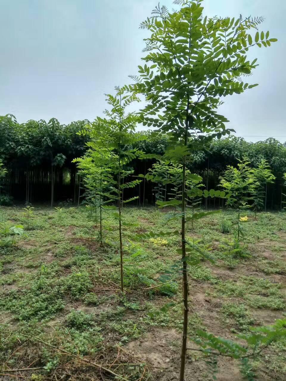 泓森槐——生长最快的硬材树!图片
