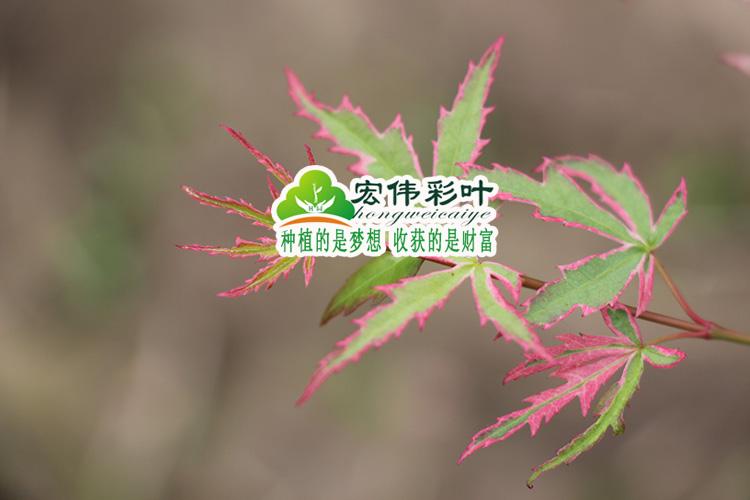 叶缘呈锯齿状,叶形奇特,似蝴蝶状;小枝繁密,每片小叶的形状,大小都有图片