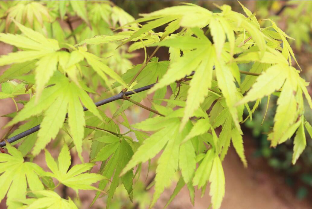 金桂黄枫 日本红枫新品种 金陵黄枫 三季观叶 红枫树苗 红枫行道图片