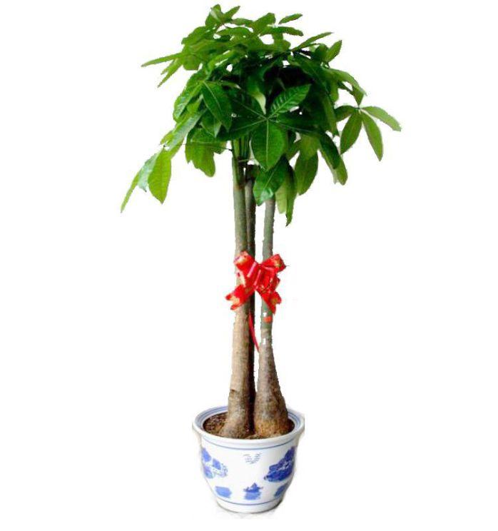 在办公室内如何摆放发财树?[图]