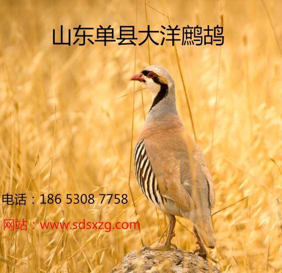鹧鸪图片,鹧鸪高清图片-单县大洋珍禽养殖专业合作社