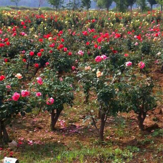 工艺品 花卉,盆景和装饰植物 闻香园林盆栽月季树 玫瑰月季桩 造型古