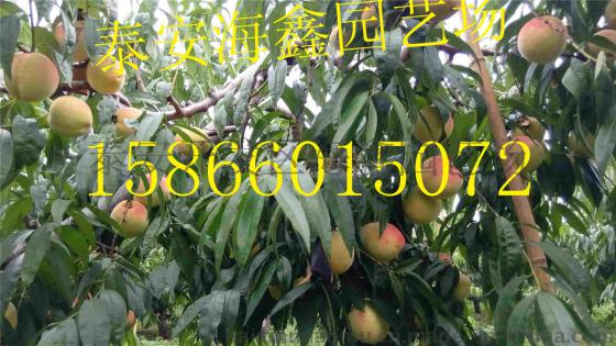 中华寿桃树苗 个大中华寿桃