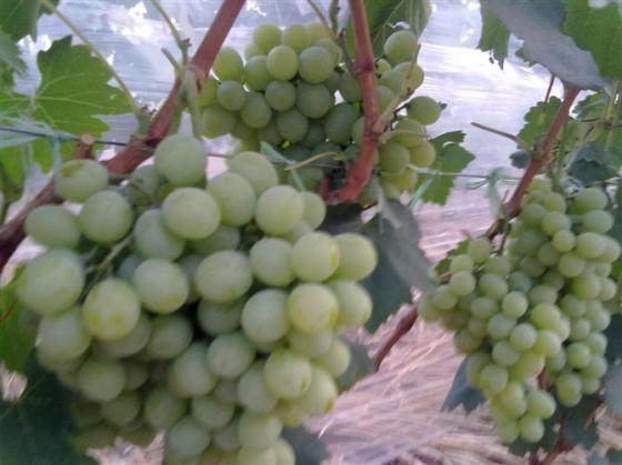云南宾川县青提维多利亚葡萄销售