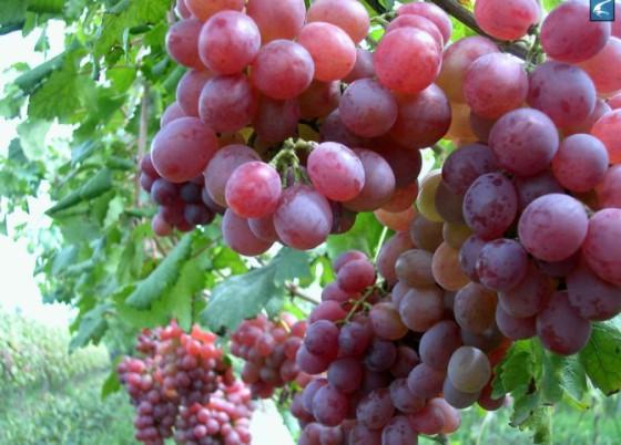 红提子葡萄