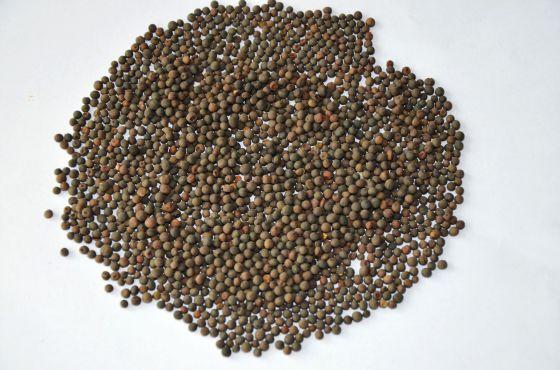 种子_毛苕子种子 绿肥种子 优质牧草