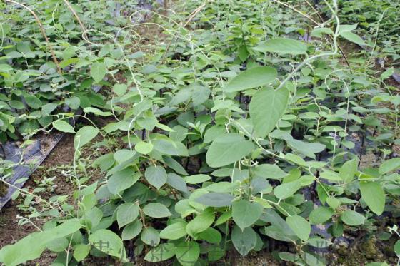 白猕猴桃苗木,2年生特种猕猴桃树苗图片