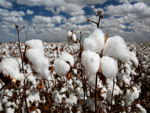 全球棉花將供過於求 價格將承壓