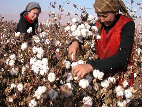 新疆棉花产业目标价格改革