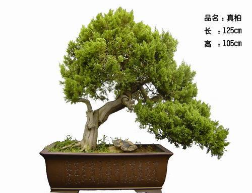 中华盆景史考 (组图) - hubao.an - hubao.an的博客