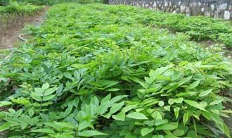 花草木栽培-花梨苗,黄花梨种植,黄花梨苗,降香黄檀苗生产供应商 花草树木