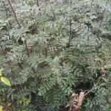 现货批发花椒苗 大红袍花椒苗 成活率高 免费指导种植