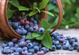 越橘提取物Bilberry Extract