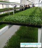 无土种植芽苗菜技术-益康园芽苗菜