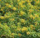 南寧景龍生態 大量批發零售黃花槐灌木種子