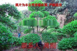 小叶女贞造型树 造型女贞培育种植基地 苏州庭院绿化
