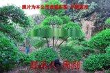 小葉女貞造型樹 造型女貞培育種植基地 蘇州庭院綠化
