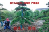 蘇州綠化苗木 蘇州花木市場 蘇州苗木公司 光福苗圃