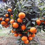 宜賓沃柑柑橘苗 沃柑苗出售 晚熟雜柑苗