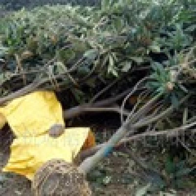 供应解放钟和早钟六号嫁接枇杷苗数量20万株